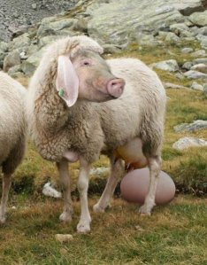 Im Vergleich zum Community/Social Media Manager schiebt die eierlegende Wollmilchsau eine ruhige Kugel.(Bildquelle: http://kamelopedia.mormo.org/index.php/Eierlegende_Wollmilchsau)
